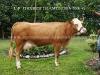 Vaca Simmental LP Graber Glamorosa 586-6