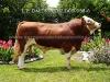 Toro Simmental Baldor 983-8
