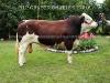 Toro Simmental Charles 778-6