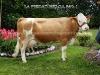Vaca Simmental Helga 569-1