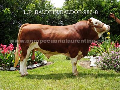 Toro Simmental Baldor 938-8