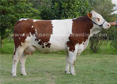 Vaca Simmental TRD Curramba 203